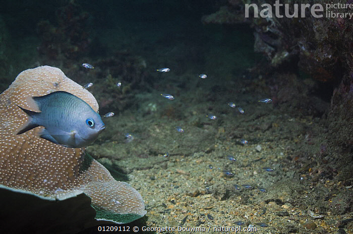 Spiny chromis (Acanthochromis polyacanthus), Papua New Guinea.  ,  CORAL REEFS,DAMSELFISH,FISH,INDO PACIFIC,MARINE,OSTEICHTHYES,PROFILE,SOUTH EAST ASIA,TROPICAL,UNDERWATER,VERTEBRATES,Asia  ,  Georgette Douwma