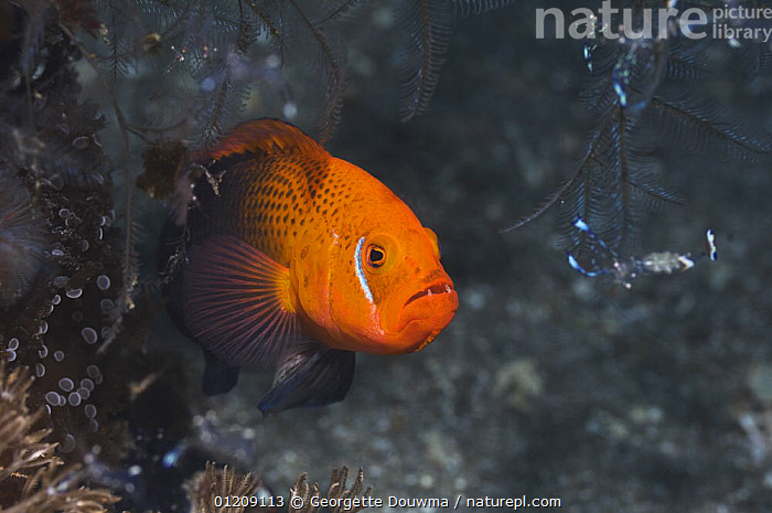 Lyretail dottyback (Pseudochromis steenei). Rinca, Indonesia.  ,  CORAL REEFS,DOTTYBACKS,FISH,INDONESIA,INDO PACIFIC,MARINE,OSTEICHTHYES,PORTRAITS,SOUTH EAST ASIA,TROPICAL,UNDERWATER,VERTEBRATES,Asia,SOUTH-EAST-ASIA,,NP,Komodo National Park,UNESCO World Heritage Site,  ,  Georgette Douwma