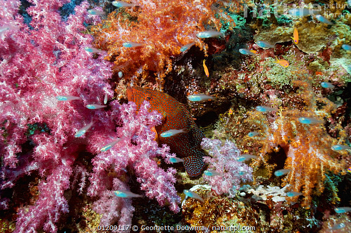 Coral hind (Cephalopholis miniata) lying in ambush amongst soft corals. Andaman Sea, Thailand.  ,  BEHAVIOUR,COLOURFUL,CORAL REEFS,FISH,GROUPERS,HUNTING,INDO PACIFIC,MARINE,OSTEICHTHYES,SOUTH EAST ASIA,thailand,TROPICAL,UNDERWATER,VERTEBRATES,Asia,SOUTH-EAST-ASIA  ,  Georgette Douwma