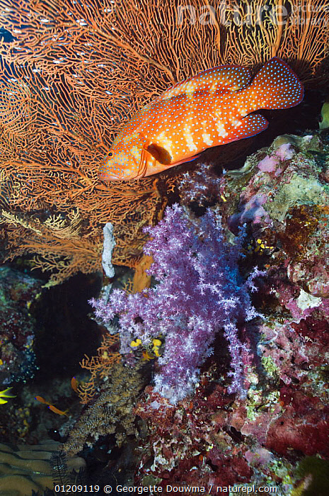 Coral hind (Cephalopholis miniata) lying in ambush amongst soft corals. Andaman Sea, Thailand.  ,  BEHAVIOUR,COLOURFUL,CORAL REEFS,FISH,GROUPERS,HUNTING,INDO PACIFIC,MARINE,OSTEICHTHYES,PROFILE,SEA FANS,SOUTH EAST ASIA,thailand,TROPICAL,UNDERWATER,VERTEBRATES,VERTICAL,Asia,SOUTH-EAST-ASIA  ,  Georgette Douwma