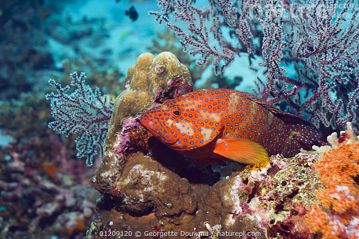 Coral hind (Cephalopholis miniata) lying in ambush amongst soft corals. Andaman Sea, Thailand.  ,  BEHAVIOUR,COLOURFUL,CORAL REEFS,FISH,GROUPERS,HUNTING,INDO PACIFIC,MARINE,OSTEICHTHYES,PROFILE,SEA FANS,SOUTH EAST ASIA,thailand,TROPICAL,UNDERWATER,VERTEBRATES,Asia,SOUTH-EAST-ASIA  ,  Georgette Douwma