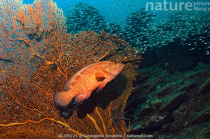 Coral hind (Cephalopholis miniata) lying in ambush amongst soft corals. Andaman Sea, Thailand.  ,  BEHAVIOUR,COLOURFUL,CORAL REEFS,FISH,GROUPERS,HUNTING,INDO PACIFIC,MARINE,OSTEICHTHYES,PROFILE,SEA FANS,SOUTH EAST ASIA,thailand,TROPICAL,UNDERWATER,VERTEBRATES,Asia,SOUTH-EAST-ASIA,Catalogue1  ,  Georgette Douwma