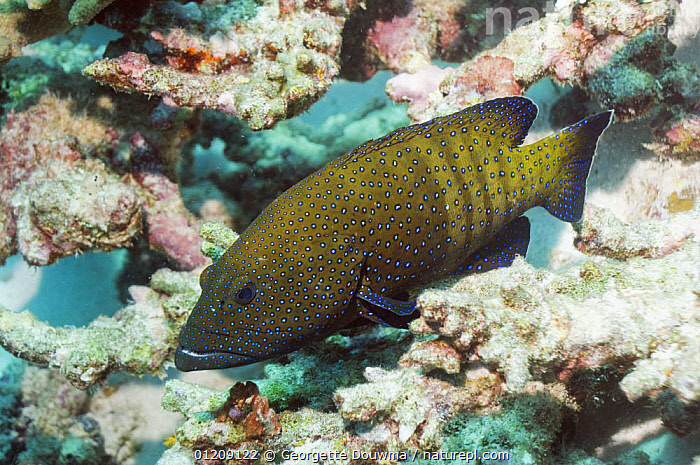 Peacock grouper (Cephalopholis argus) on rocks. Andaman Sea, Thailand.  ,  CORAL REEFS,FISH,GROUPERS,INDO PACIFIC,MARINE,OSTEICHTHYES,SOUTH EAST ASIA,thailand,TROPICAL,UNDERWATER,VERTEBRATES,Asia,SOUTH-EAST-ASIA  ,  Georgette Douwma