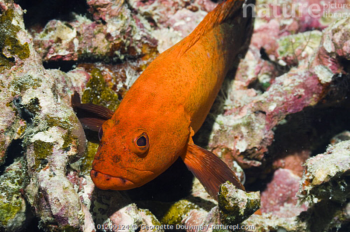 Darkfin hind (Cephalopholis nigripinnis) on rock. Andaman Sea, Thailand.  ,  COLOURFUL,CORAL REEFS,FISH,GROUPERS,INDO PACIFIC,MARINE,OSTEICHTHYES,SOUTH EAST ASIA,thailand,TROPICAL,UNDERWATER,VERTEBRATES,Asia,SOUTH-EAST-ASIA  ,  Georgette Douwma