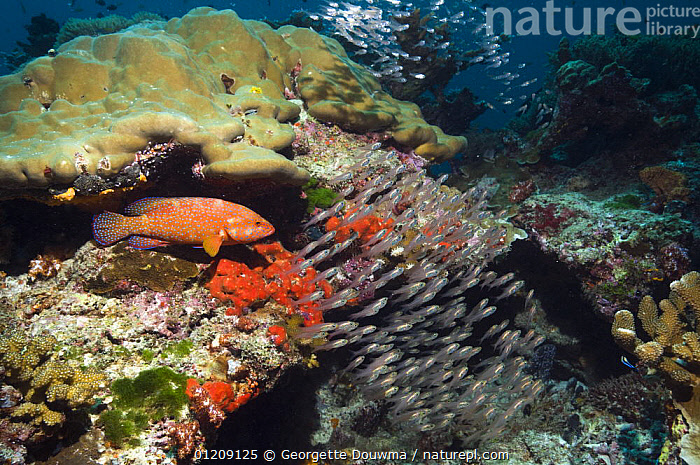 Coral hind (Cephlopholus miniata) with sweepers. Andaman Sea, Thailand.  ,  COLOURFUL,CORAL REEFS,FISH,GROUPERS,GROUPS,INDO PACIFIC,LANDSCAPES,MARINE,MIXED SPECIES,OSTEICHTHYES,SHOAL,SOUTH EAST ASIA,thailand,TROPICAL,UNDERWATER,VERTEBRATES,Asia,SOUTH-EAST-ASIA  ,  Georgette Douwma