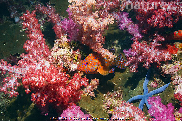 Coral hind (Cephlopholus miniata) with soft corals. Andaman Sea, Thailand.  ,  COLOURFUL,CORAL REEFS,FISH,GROUPERS,INDO PACIFIC,MARINE,OSTEICHTHYES,SEA STARS,SOUTH EAST ASIA,STARFISH,thailand,TROPICAL,UNDERWATER,VERTEBRATES,Asia,SOUTH-EAST-ASIA  ,  Georgette Douwma