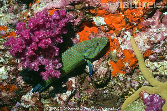 Bluelined hind (Cephalopholus formosa). Andaman Sea, Thailand.  ,  COLOURFUL,CORAL REEFS,FISH,GROUPERS,INDO PACIFIC,MARINE,OSTEICHTHYES,SOUTH EAST ASIA,thailand,TROPICAL,UNDERWATER,VERTEBRATES,Asia,SOUTH-EAST-ASIA  ,  Georgette Douwma