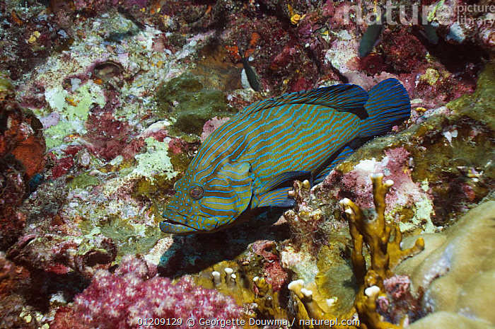 Bluelined hind (Cephalopholus formosa). Andaman Sea, Thailand.  ,  CORAL REEFS,FISH,GROUPERS,INDO PACIFIC,MARINE,OSTEICHTHYES,SOUTH EAST ASIA,thailand,TROPICAL,UNDERWATER,VERTEBRATES,Asia,SOUTH-EAST-ASIA  ,  Georgette Douwma