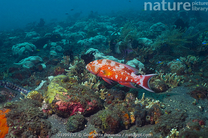 Whitemargin lyretail grouper (Variola albimarginata). Bali, Indonesia.  ,  CORAL REEFS,FISH,INDONESIA,INDO PACIFIC,MARINE,OSTEICHTHYES,SOUTH EAST ASIA,TROPICAL,UNDERWATER,VERTEBRATES,Asia,SOUTH-EAST-ASIA  ,  Georgette Douwma