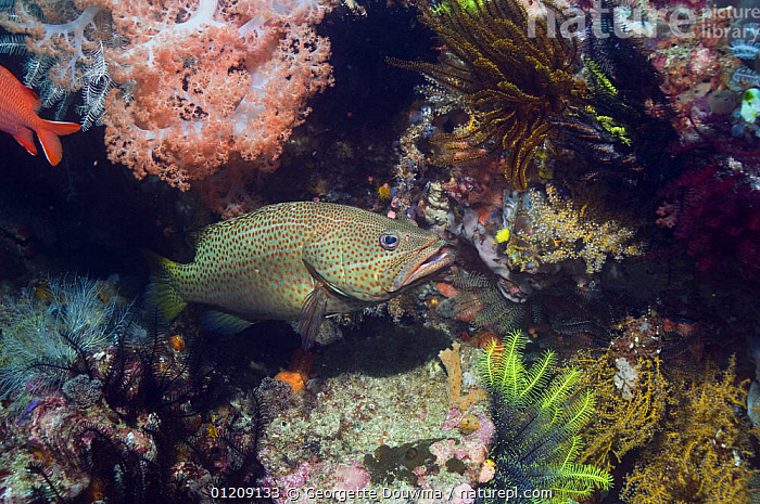 Slender grouper (Anyperodon leucogrammicus) with crinoids and soft corals. Rinca, Indonesia.  ,  CORAL REEFS,FISH,GROUPERS,INDONESIA,INDO PACIFIC,MARINE,OSTEICHTHYES,SOUTH EAST ASIA,TROPICAL,UNDERWATER,VERTEBRATES,Asia,SOUTH-EAST-ASIA,,NP,Komodo National Park,UNESCO World Heritage Site,  ,  Georgette Douwma