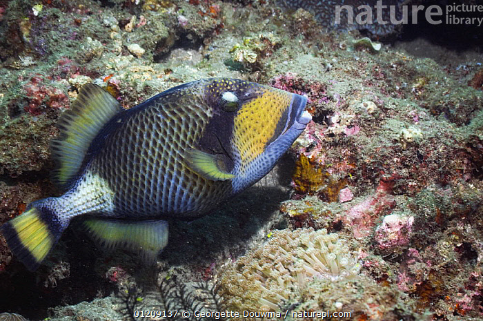 Titan triggerfish (Balistoides viridescens). Lembeh Strait, North Sulawesi, Indonesia.  ,  CORAL REEFS,FISH,INDONESIA,INDO PACIFIC,MARINE,OSTEICHTHYES,SOUTH EAST ASIA,TRIGGERFISH,TROPICAL,UNDERWATER,VERTEBRATES,Asia,SOUTH-EAST-ASIA  ,  Georgette Douwma