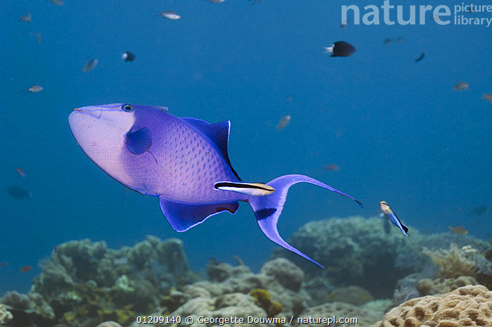 Redtoothed triggerfish (Odonus niger) with Cleaner wrasses (Labroides dimidiatus). Bali, Indonesia.  ,  COLOURFUL,CORAL REEFS,FISH,INDONESIA,INDO PACIFIC,MARINE,MIXED SPECIES,OSTEICHTHYES,SOUTH EAST ASIA,TRIGGERFISH,TROPICAL,UNDERWATER,VERTEBRATES,WRASSE,SOUTH-EAST-ASI,SOUTH-EAST-ASIA,Asia  ,  Georgette Douwma