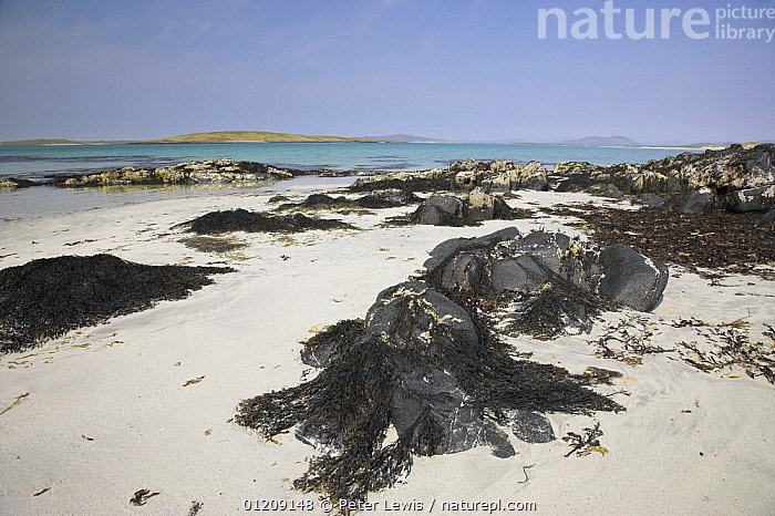White sand beach of Clachan Sands with seaweed, North Uist, Western Isles, Scotland  ,  BEACHES,COASTS,EUROPE,LANDSCAPES,SEAWEED,UK,Plants, United Kingdom, United Kingdom, United Kingdom, United Kingdom, United Kingdom, United Kingdom  ,  Peter Lewis