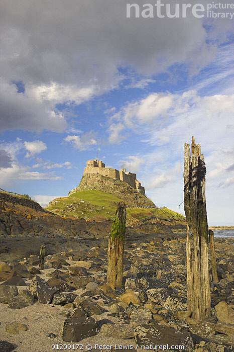Old wooden piles on rocky shorline of Lindisfarne with castle in the background. Holy Island, Northumberland, UK  ,  CASTLES,COASTS,EUROPE,intertidal zone ,LANDSCAPES,littoral,posts,UK,VERTICAL,Intertidal, United Kingdom,ENGLAND, United Kingdom, United Kingdom, United Kingdom, United Kingdom, United Kingdom  ,  Peter Lewis