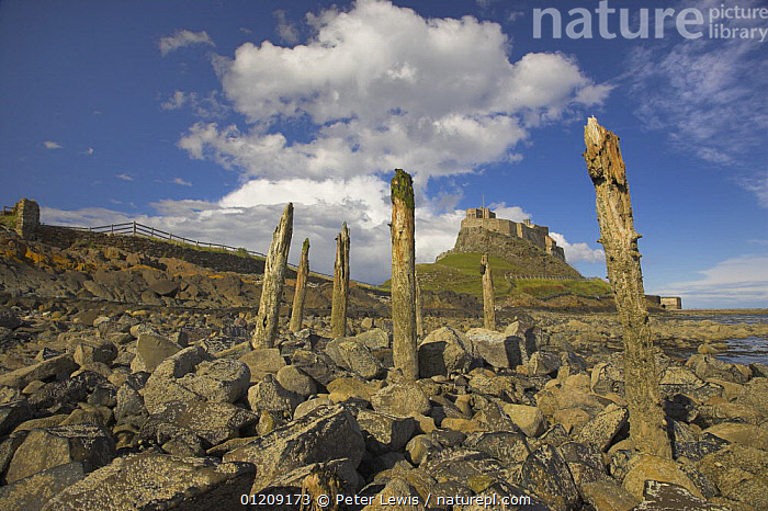 Old wooden piles on rocky shorline of Lindisfarne with castle in the background. Holy Island, Northumberland, UK  ,  BEACHES,CASTLES,COASTS,EUROPE,intertidal zone ,LANDSCAPES,littoral,posts,UK,Intertidal, United Kingdom,ENGLAND, United Kingdom, United Kingdom, United Kingdom, United Kingdom, United Kingdom  ,  Peter Lewis