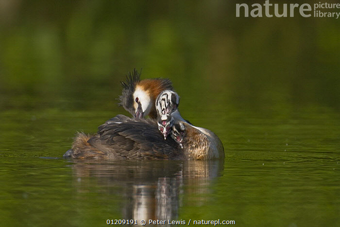 Great crested Grebe (Podiceps cristatus) with chicks, Titchfield Haven, Hampshire, UK  ,  BABIES,BIRDS,ENGLAND,EUROPE,FAMILIES,GREBES,LAKES,PARENTAL,REFLECTIONS,RESERVE,UK,VERTEBRATES,WATERFOWL, United Kingdom  ,  Peter Lewis