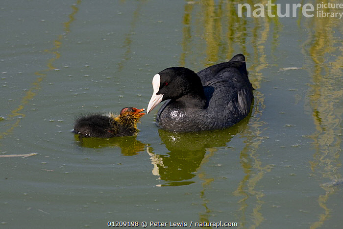 Coot (Fulica atra) with chick on water, Titchfield Haven Nature Reserve, Hampshire, UK  ,  BABIES,begging,BIRDS,COOTS,ENGLAND,estuaries,estuary,EUROPE,LAKES,mother baby,PARENTAL,RESERVE,UK,VERTEBRATES,WATERFOWL,WETLANDS, United Kingdom  ,  Peter Lewis