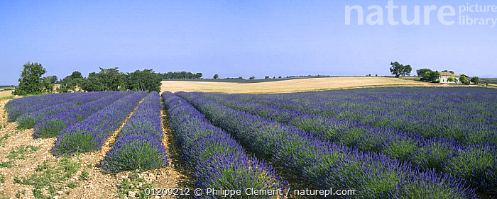 Lavender field (Lavendula sp) and farm in the Provence, France. June 2008.  ,  CROPS,EUROPE,FLOWERS,FRANCE,LANDSCAPES,PANORAMIC,PLANTS,SUMMER  ,  Philippe Clement