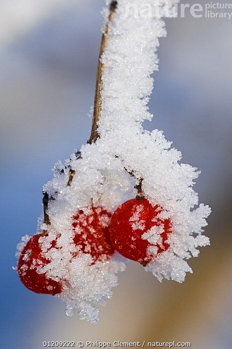 Guelder rose berries (Viburnum opulus) covered in hoar frost, Belgium  ,  ARTY,BERRIES,CAPRIFOLIACEAE,DICOTYLEDONS,EUROPE,PLANTS,RED,VERTICAL,WINTER  ,  Philippe Clement