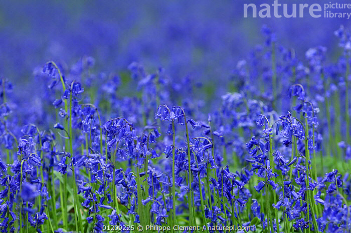 Bluebells in flower (Hyacinthoides non-scripta), Belgium  ,  arty, BELGIUM, BLUE, Bluebell, COLOURFUL, EUROPE, FLOWERS, LILIACEAE, MONOCOTYLEDONS, PLANTS, SPRING  ,  Philippe Clement