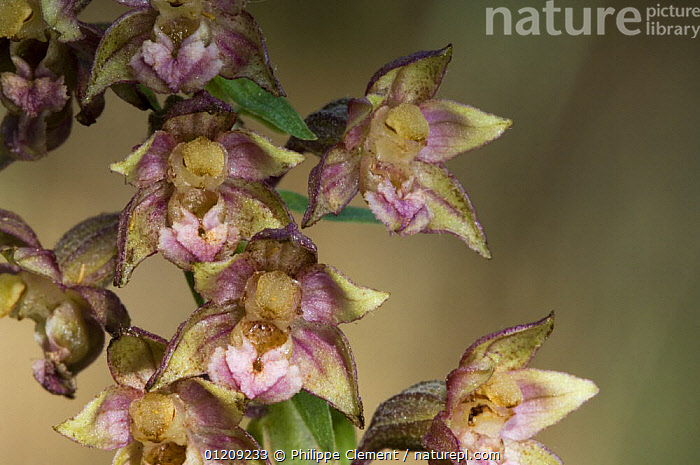 Broad-leaved helleborine (Epipactis helleborine), Provence, France  ,  EUROPE,FLOWERS,FRANCE,MONOCOTYLEDONS,ORCHIDACEAE,ORCHIDS,PLANTS  ,  Philippe Clement