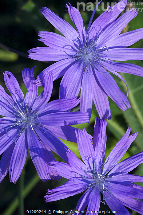 Chicory flowers (Cichorium intybus), Provence, France  ,  ARTY,ASTERACEAE,BLUE,COMPOSITAE,DICOTYLEDONS,EUROPE,FLOWERS,FRANCE,PETALS,PLANTS,PURPLE,THREE,VERTICAL  ,  Philippe Clement