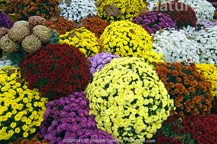 Chrysanthemum flowers of different colours in cemetery, France  ,  ASTERACEAE,COLOURFUL,COMPOSITAE,CULTIVATED,DICOTYLEDONS,EUROPE,FLOWERS,FRANCE,PLANTS  ,  Philippe Clement