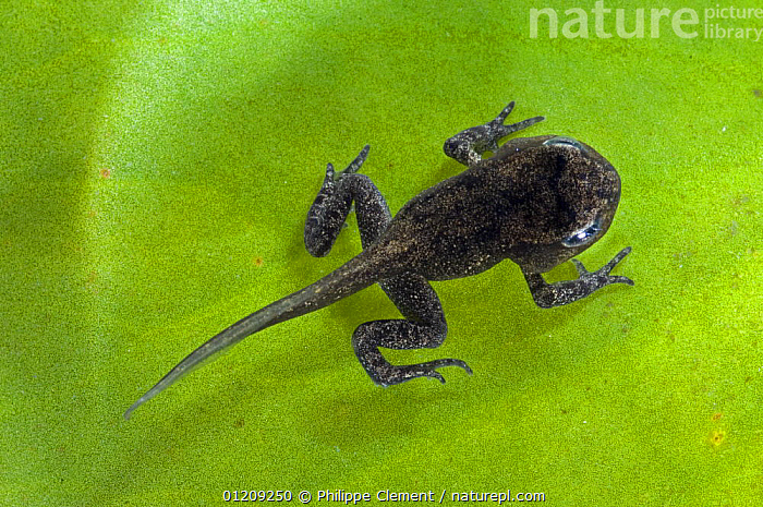 Common Frog (Rana temporaria) tadpole with limbs well developed but tail not yet reabsorbed, Belgium, captive  ,  AMPHIBIANS,ANURA,BELGIUM,DEVELOPMENT,EUROPE,FRESHWATER,FROGLET,FROGS,LARVAE,VERTEBRATES,WATER  ,  Philippe Clement