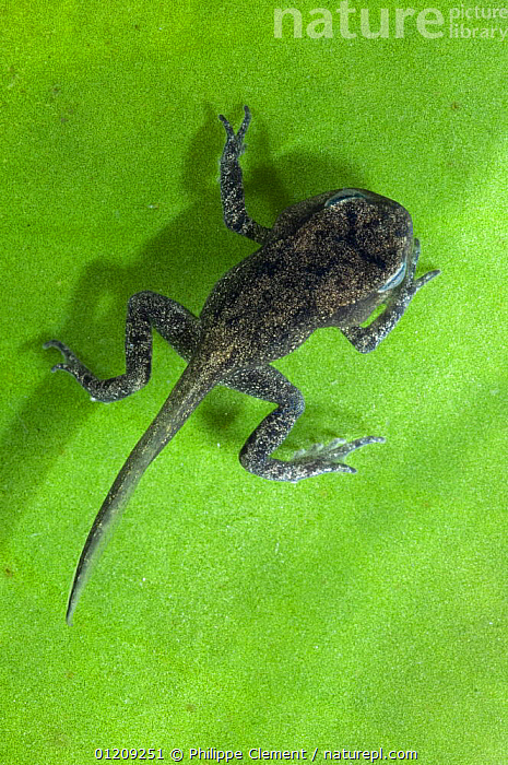 Common Frog (Rana temporaria) tadpole with limbs well developed but tail not yet reabsorbed, Belgium, captive  ,  AMPHIBIANS,ANURA,BABIES,BELGIUM,CUTE,EUROPE,FRESHWATER,FROGLET,FROGS,LARVAE,LEGS,VERTEBRATES,VERTICAL  ,  Philippe Clement