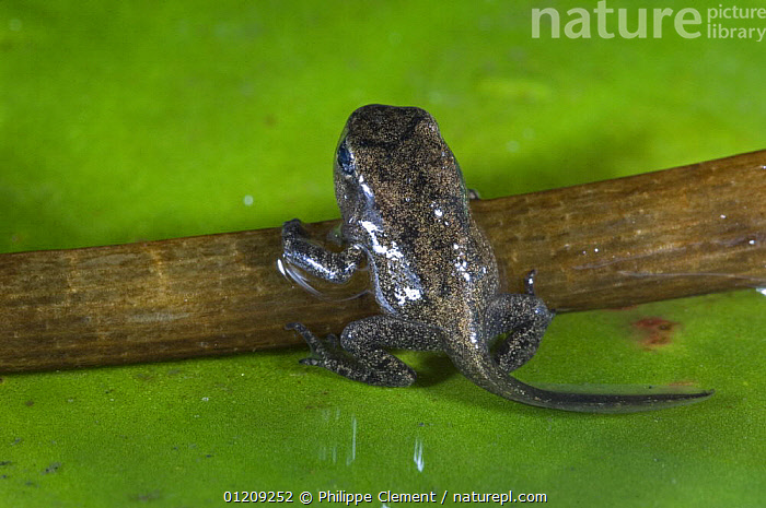 Common Frog (Rana temporaria) tadpole / froglet with limbs well developed climbing out of the water, Belgium, captive  ,  AMPHIBIANS,ANURA,BABIES,BELGIUM,CUTE,DEVELOPMENT,EUROPE,FRESHWATER,FROGS,LEGS,VERTEBRATES  ,  Philippe Clement