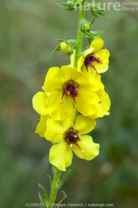 Close up of Dark mullein (Verbascum nigrum) in flower, Provence, France  ,  DICOTYLEDONS,EUROPE,FLOWERS,FRANCE,PLANTS,SCROPHULARIACAEA,VERTICAL,YELLOW  ,  Philippe Clement