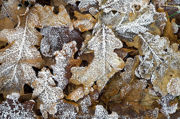 Hoar frost on leaves of English oak tree (Quercus robur) on the forest floor in winter, Belgium  ,  ARTY,DICOTYLEDONS,EUROPE,FAGACEAE,LEAF LITTER,PLANTS  ,  Philippe Clement