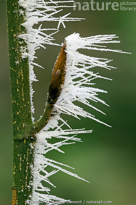 Bud covered in hoar frost in winter, Belgium  ,  ARTY,BELGIUM,BUDS,EUROPE,FROST,ICE,PLANTS,SPIKES,VERTICAL,Weather  ,  Philippe Clement