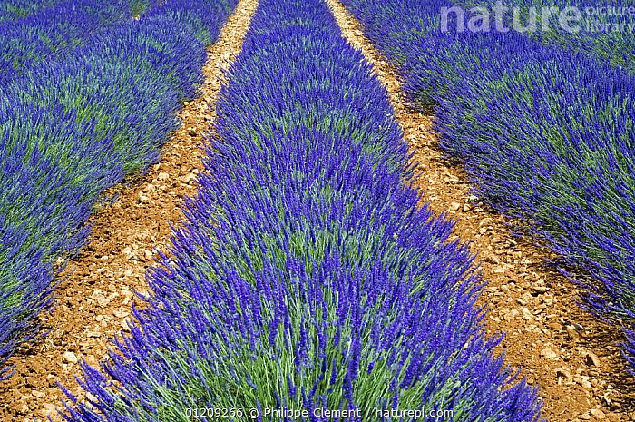 Row of cultivated Lavender (Lavendula sp) in flower, Provence, France. June 2008.  ,  BLUE,CROPS,EUROPE,FIELD,FLOWERS,FRANCE,LANDSCAPES,SUMMER  ,  Philippe Clement