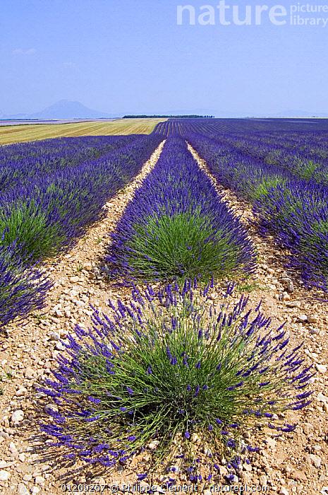 Row of cultivated Lavender in field (Lavendula sp) in Provence, France. June 2008.  ,  BLUE,CROPS,EUROPE,FIELD,FLOWERS,FRANCE,LANDSCAPES,SUMMER  ,  Philippe Clement