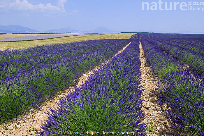 Rows of cultivated Lavender in field (Lavendula sp) in Provence, France. June 2008.  ,  BLUE,CROPS,EUROPE,FLOWERS,FRANCE,LANDSCAPES,SUMMER  ,  Philippe Clement