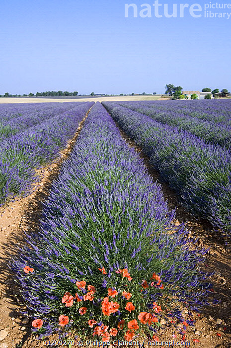 Common poppies (Papaver rhoeas) flowering in row of cultivated Lavender in field (Lavendula sp)Provence, France. June 2008.  ,  BLUE,CROPS,EUROPE,FLOWERS,FRANCE,LANDSCAPES,SUMMER,VERTICAL  ,  Philippe Clement