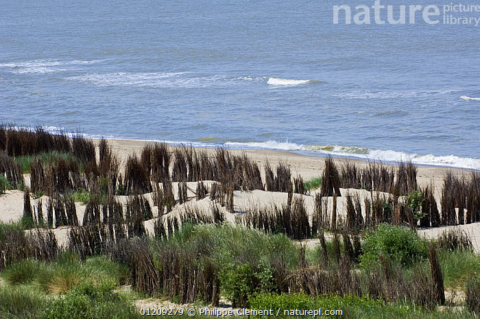 Beach and dunes with man-made Osier (Salix viminalis) hedges planted to stabilise the sand, North Sea, Belgium 2008.  ,  BELGIUM,COASTS,CONSERVATION,EROSION,EUROPE,PLANTS,SAND DUNES,STABILISATION,WILLOW,Deserts  ,  Philippe Clement