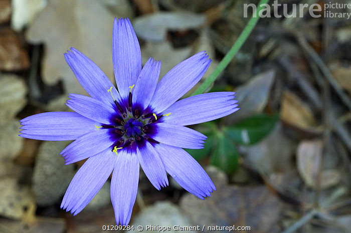 Perennial lettuce (Lactuca perennis) flower, Provence, France  ,  ASTERACEAE,BLUE,COMPOSITAE,DICOTYLEDONS,EUROPE,FLOWERS,FRANCE,PLANTS  ,  Philippe Clement