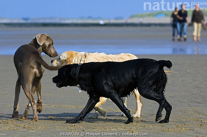 Golden and black labrador retrievers (Canis familiaris) meeting and sniffing strange, unfamiliar dog on beach, Belgium. 2008.  ,  BEACHES,BELGIUM,COLOUR,COLOUR DIMORPHISM,COMMUNICATION,EUROPE,GREETING,GROUPS,PEOPLE,PETS,RETRIEVER,SOCIAL BEHAVIOUR,THREE,Dogs,Canids  ,  Philippe Clement