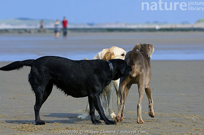 Golden and black labrador retrievers (Canis familiaris) meeting and sniffing strange, unfamiliar dog on beach, Belgium. 2008.  ,  BEACHES,BELGIUM,COMMUNICATION,EUROPE,GREETING,GROUPS,PEOPLE,PETS,SOCIAL BEHAVIOUR,THREE,Dogs,Canids  ,  Philippe Clement