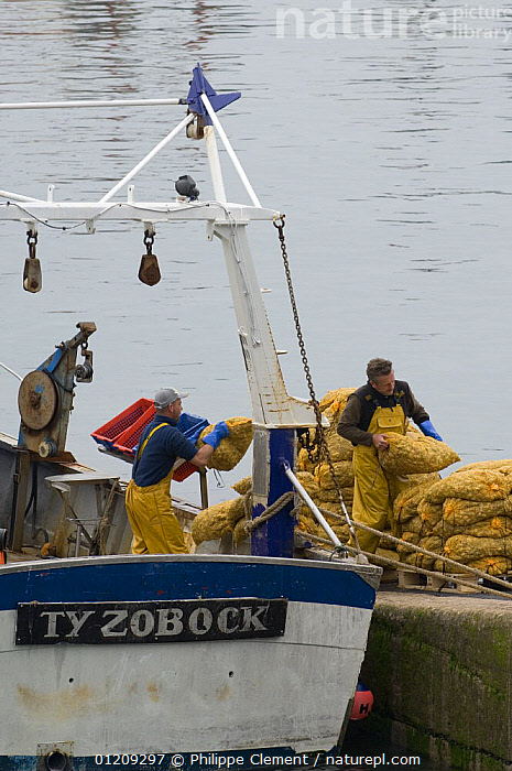 Fishermen unload bags of Scallops (Pecten jacobeus) from fishing boat at the Erquy port, Brittany, France. May 2008.  ,  BOATS,EUROPE,FISHERIES,FRANCE,LANDSCAPES,MOLLUSCS,PEOPLE,SCALLOP,VERTICAL,Invertebrates  ,  Philippe Clement