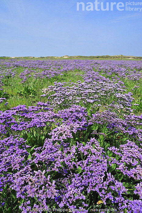 Sea lavender (Limonium vulgare) in flower at saltmarsh in the nature reserve The Zwin, Belgium  ,  BELGIUM,COASTS,DICOTYLEDONS,EUROPE,FLOWERS,LANDSCAPES,PLANTS,PLUMBACEAE,PURPLE,SALTMARSHES,VERTICAL  ,  Philippe Clement