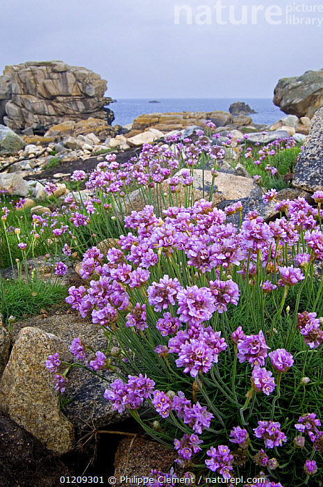 Thrift / Sea pink (Armeria maritima) in flower among rocks at Plougrescant, Brittany, France, May 2008  ,  COASTS,DICOTYLEDONS,EUROPE,FLOWERS,FRANCE,LANDSCAPES,PLANTS,PLUMBAGINACEAE,VERTICAL  ,  Philippe Clement