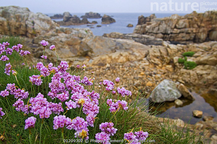 Thrift / Sea pink (Armeria maritima) in flower among rocks at Plougrescant, Brittany, France. May 2008.  ,  COASTS,EUROPE,FLOWERS,FRANCE,LANDSCAPES,LITTORAL,PLANTS,ROCKPOOL,ROCKS,Intertidal  ,  Philippe Clement
