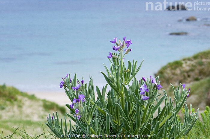 Sea stock (Matthiola sinuata) flowering in the dunes along the coast, Brittany, France. May 2008.  ,  BRASSICA,BRASSICACEAE,COASTS,DICOTYLEDONS,EUROPE,FLOWERS,FRANCE,HABITAT,LANDSCAPES,PLANTS  ,  Philippe Clement