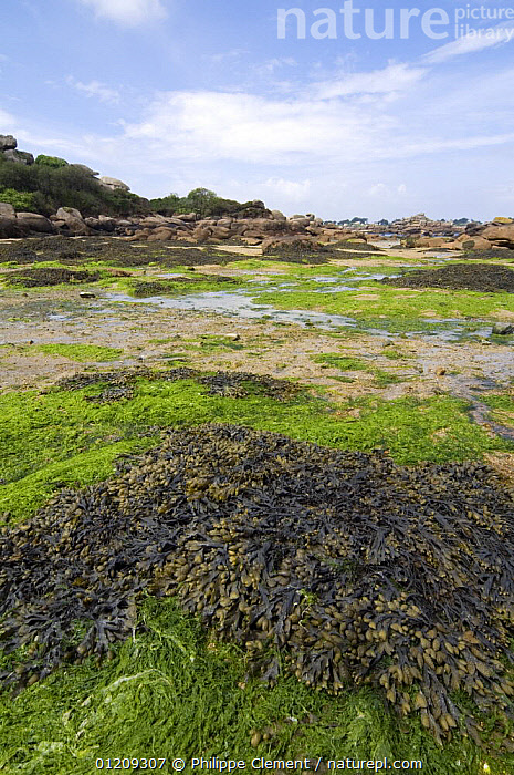 Seaweed like Bladder wrack (Fucus vesiculosus) and Sea lettuce (Ulva lactuca) exposed at low tide, Brittany, France. May 2008.  ,  ALGAE,COASTS,EUROPE,FRANCE,GREEN,LANDSCAPES,LITTORAL,MIXED SPECIES,VERTICAL,Intertidal,Plants  ,  Philippe Clement