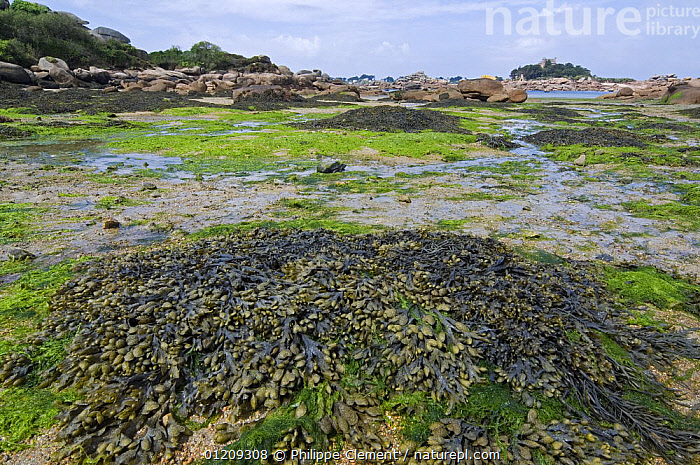 Seaweed like Bladder wrack (Fucus vesiculosus) and Sea lettuce (Ulva lactuca) exposed at low tide, Brittany, France. May 2008.  ,  ALGAE,COASTS,EUROPE,FRANCE,LANDSCAPES,LITTORAL,MIXED SPECIES,Intertidal,Plants  ,  Philippe Clement