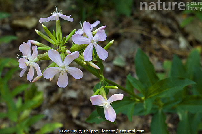 Soap aloe / Soapwort flowers (Saponaria officinalis), Provence, France.  ,  CARYOPHYLLACEAE,DICOTYLEDONS,EUROPE,FLOWERS,FRANCE,PLANTS  ,  Philippe Clement
