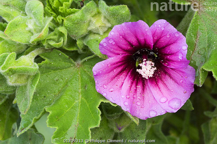 Tree mallow in flower (Lavatera arborea), Brittany, France  ,  DICOTYLEDONS,EUROPE,FLOWERS,FRANCE,MALVACEAE,PINK,PLANTS,PORTRAITS  ,  Philippe Clement